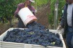 grape harvester dumping bucket of grapes