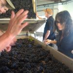 processing harvested grapes
