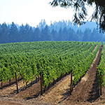 vineyard with forest background
